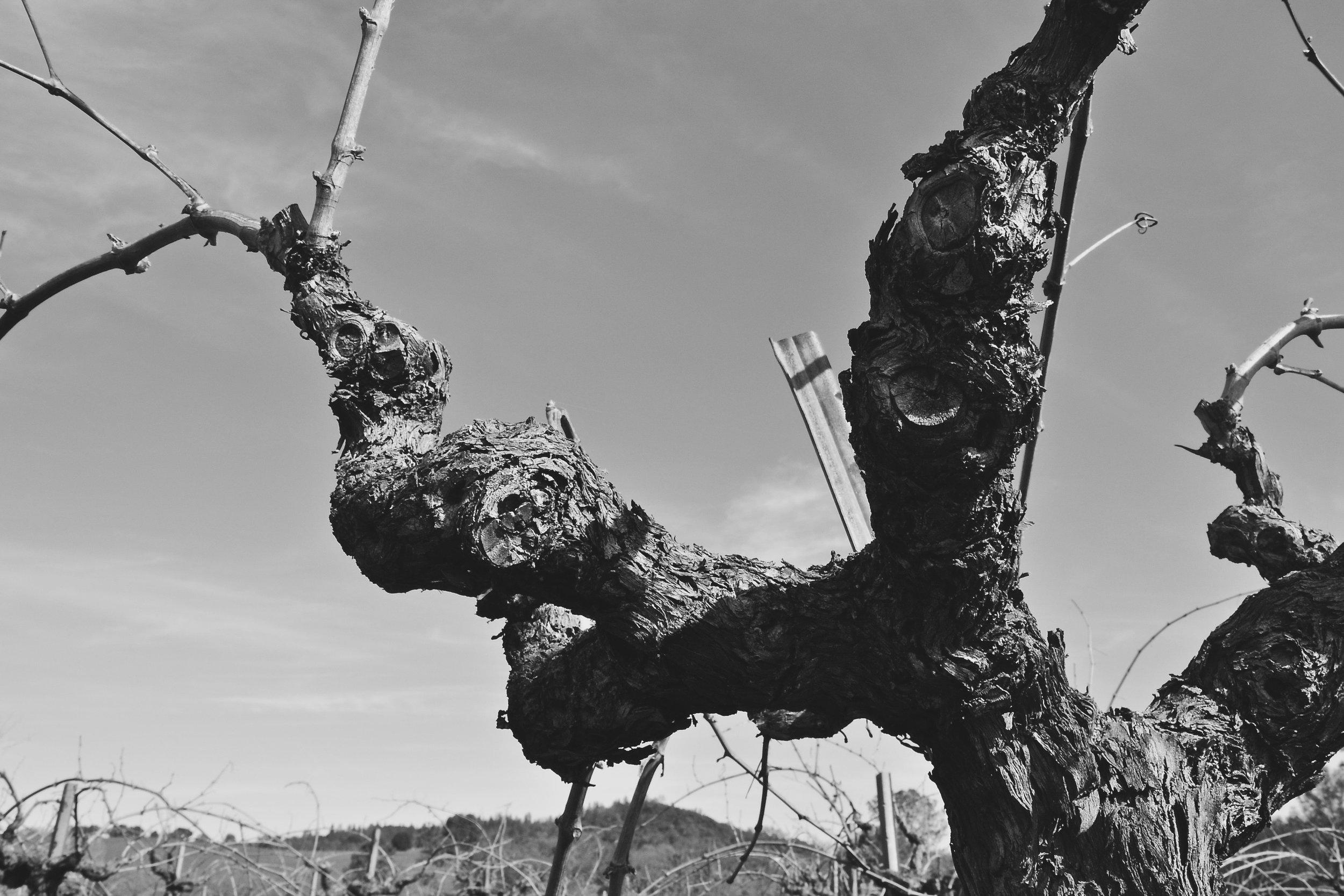 Cobb Vine B&W - Sierra foothills.jpg