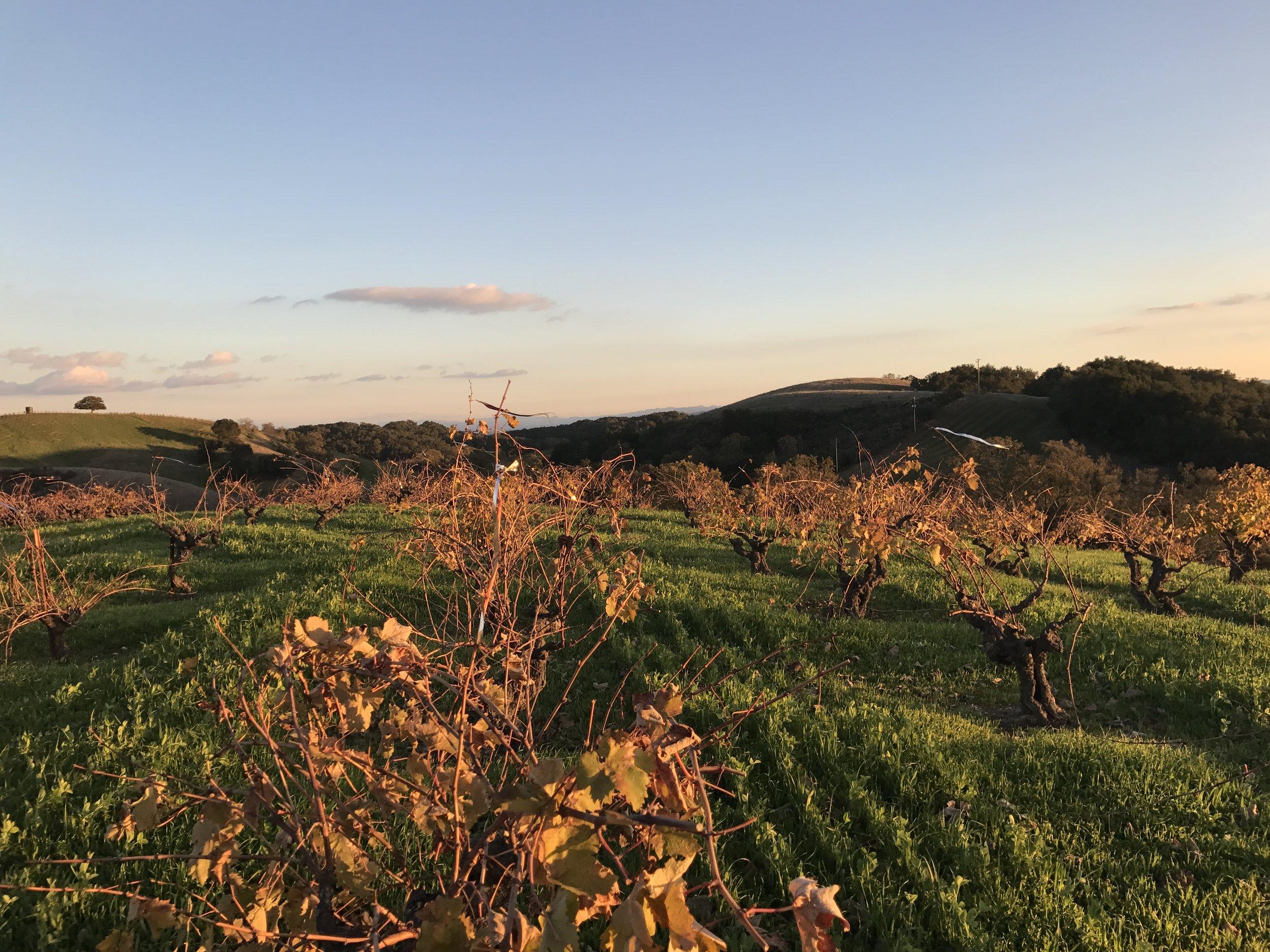 Ueberroth vineyard at sunset.jpg