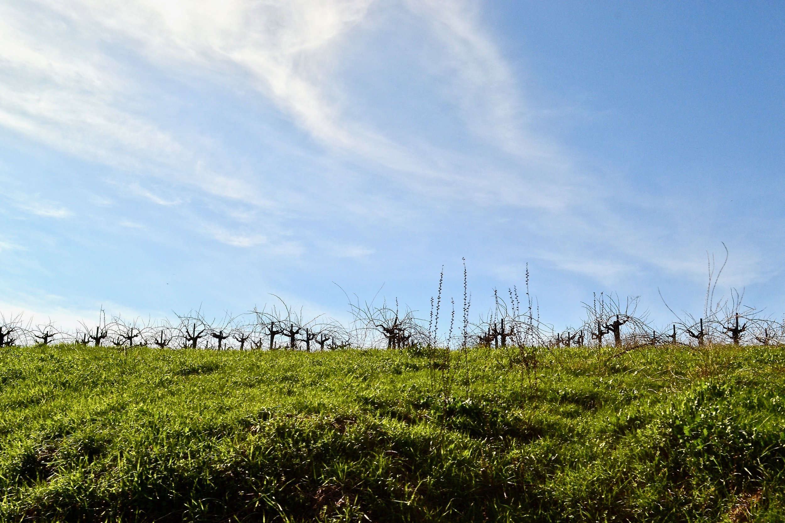 Buck Cobb Vineyard on a cold, sunny day at the end of winter (pre-pruning).
