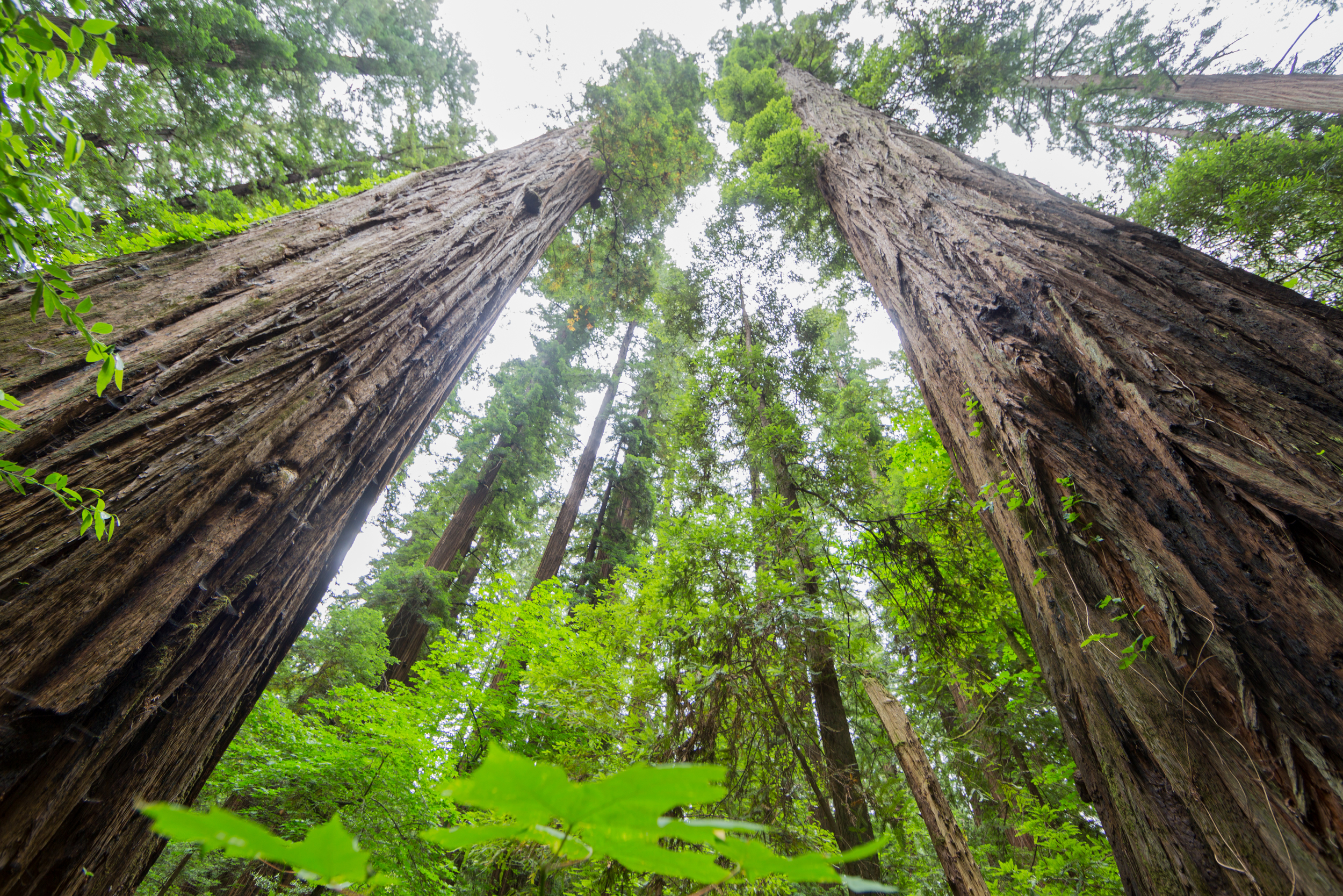 CR0A9340_CALIFORNIA_REDWOODS.jpg