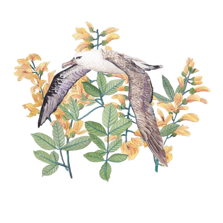 Albatross & Laburnum alpinum.jpg