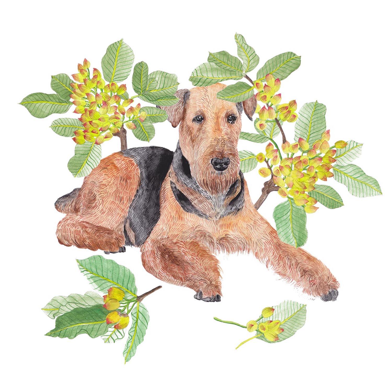 Airedale Terrier & Pistacia vera.jpg