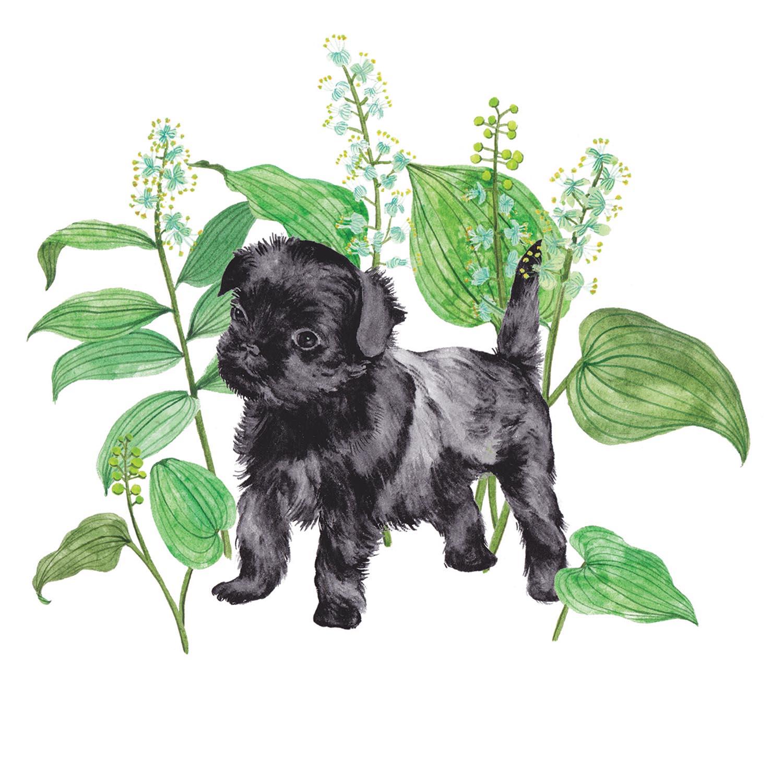 Affenpinscher & Maianthemum bifolium.jpg