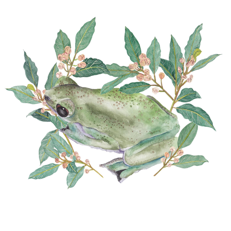African Tree Toad & Laurus nobilis.jpg
