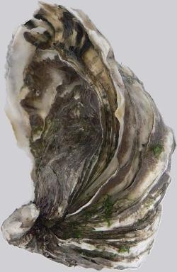 Pacific oyster,Crassostrea gigas,by DavidMonniaux.Wikimedia Commons.