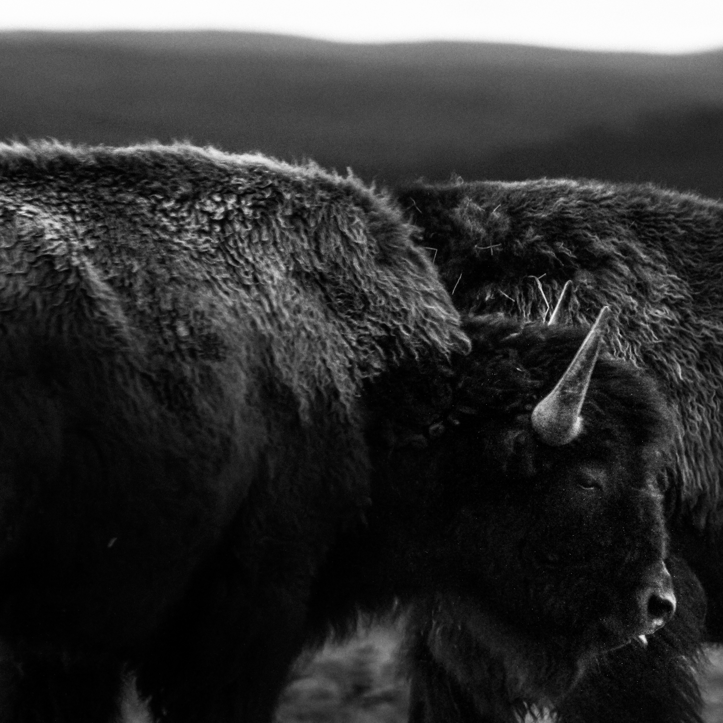 Two bison at late dusk in Hayden Valley.