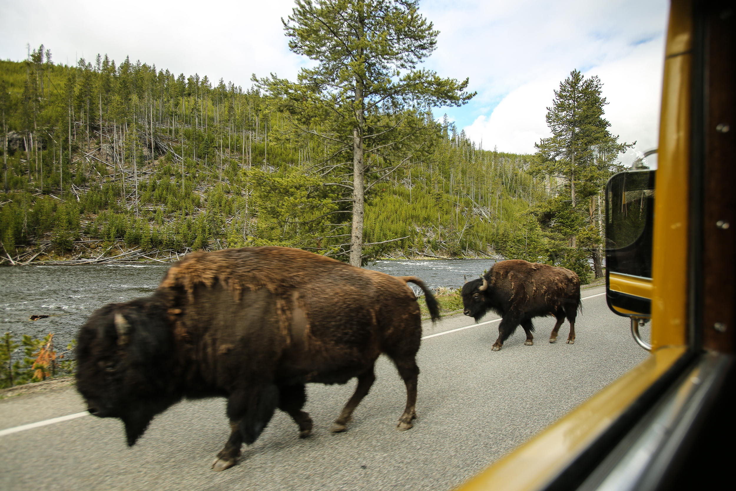 Bison the move , passing us in our Historic Yellow Bus.