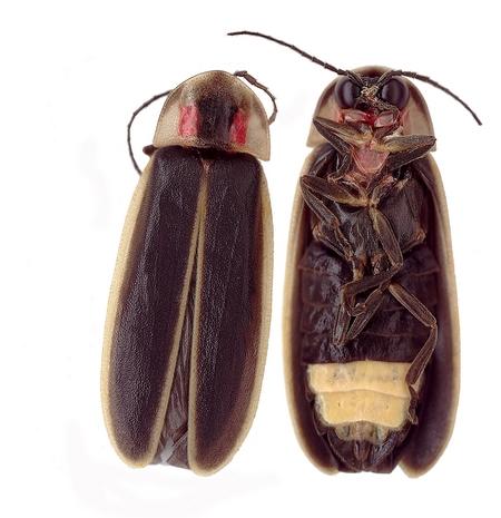 Photinus carolinus . Image credit: National Park Service