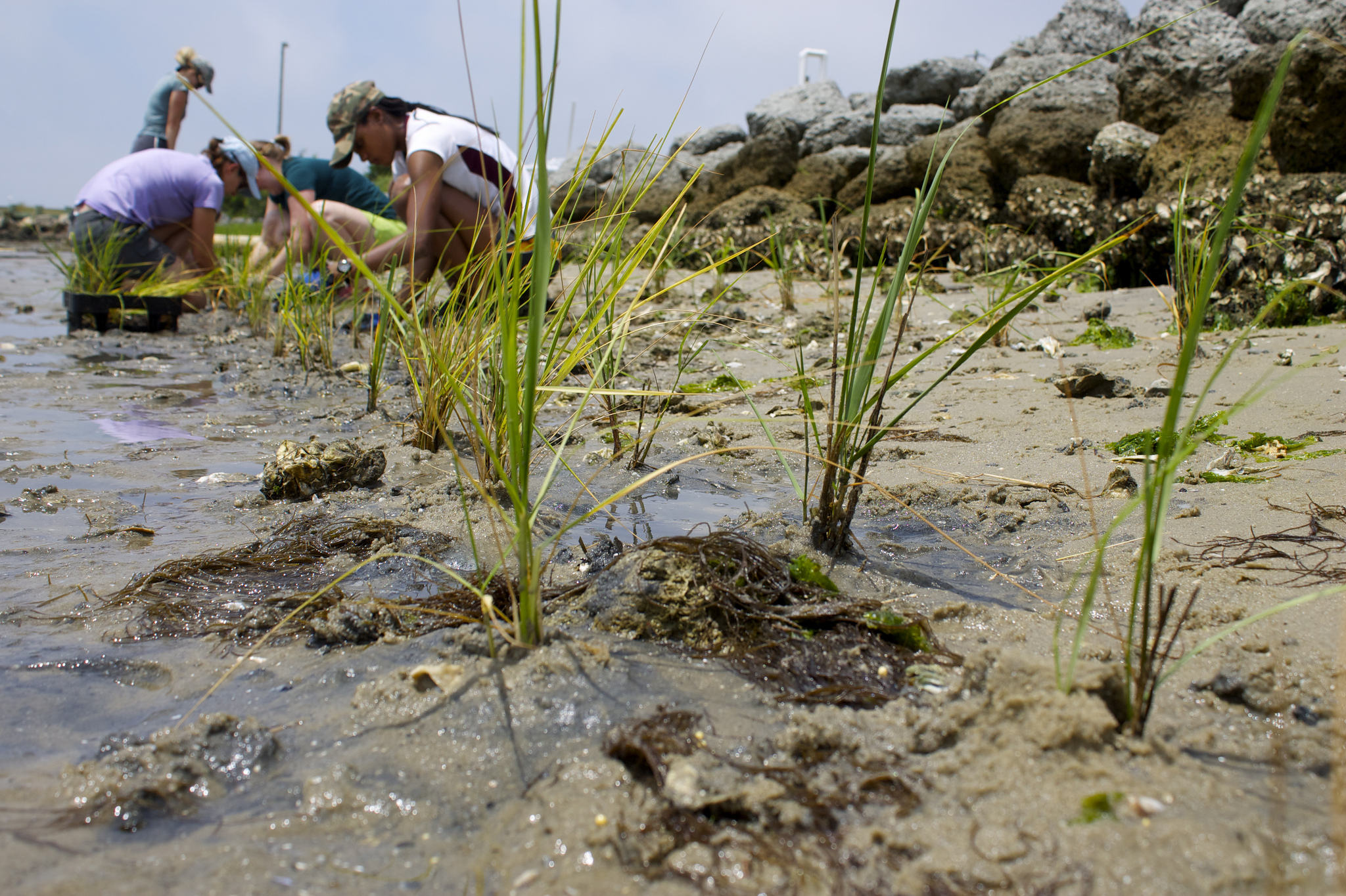 Researchers planting marsh grass seedlings as part of UNC's plan to become carbon neutral. Photo credit: E. Woodward/ UNC Institute of Marine Sciences. Interact with the Institute on Twitter  @UNCims .