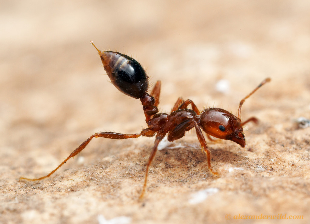 A worker fire ant is shown in stereotypical defensive posture. Photo by Alex Wild, @Myrmecos on Twitter. www.alexanderwild.com/
