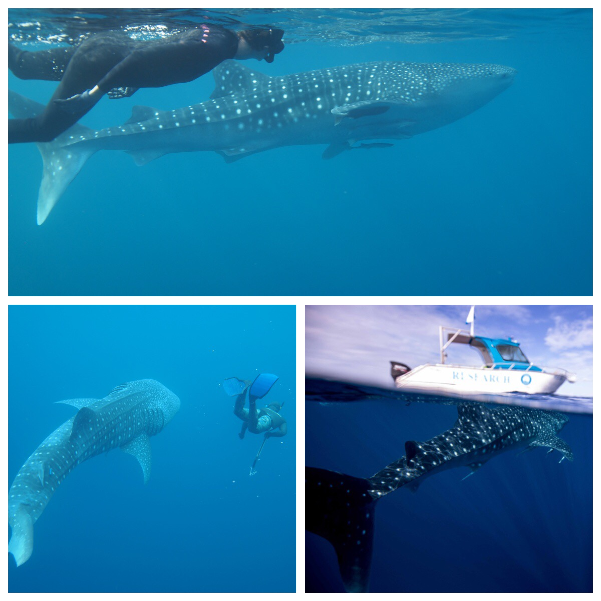 Sue  tagging along with Whale Sharks !