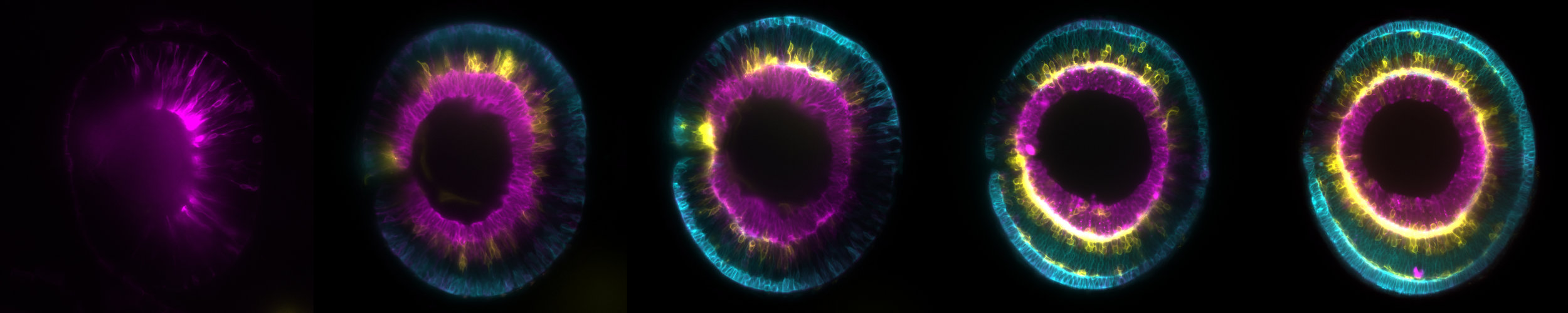 Watching you... The development of a single zebrafish retina, by  Icha Jaroslav , Wikimedia.