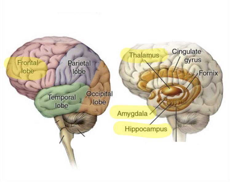 Las zones del ecrebro involuncrados en la generación del estrés