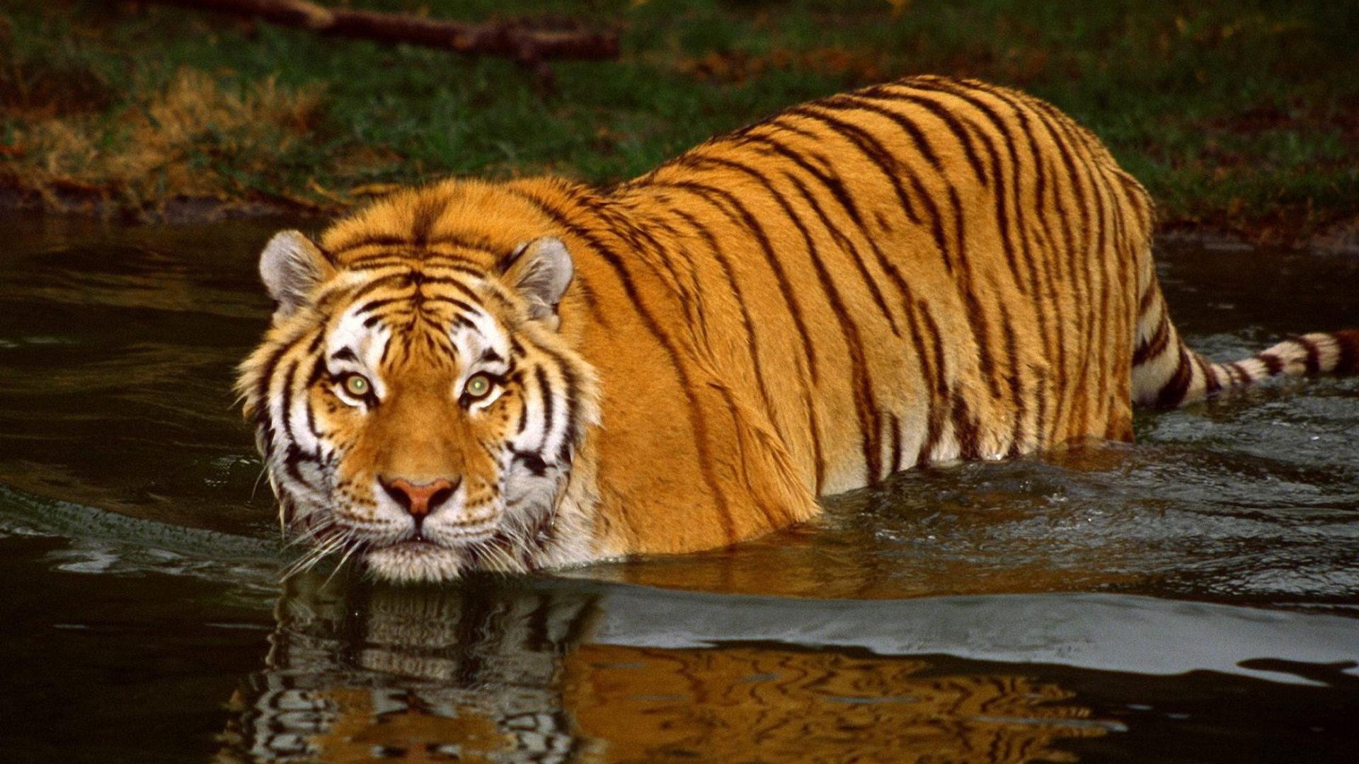 bengal-tiger-swimming-19-mar-7.jpg