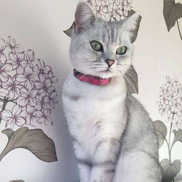 Beautiful Bella! 😻 Very pretty in her pink Cheshire & Wain collar. Follow her @cat.queen.bella✨