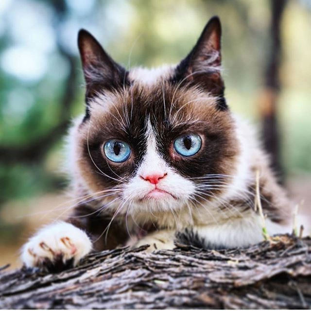 Goodbye to darling Tardar Sauce aka @realgrumpycat who very sadly passed away on the 14th of May 2019 aged 7. She made so many cats and humans smile and spread joy to the world despite her grumpy demeanour. Millions will miss her! Thoughts are with her family and friends as they come to terms with the loss of this little dynamo. 😿 🌈 #rip #grumpycat