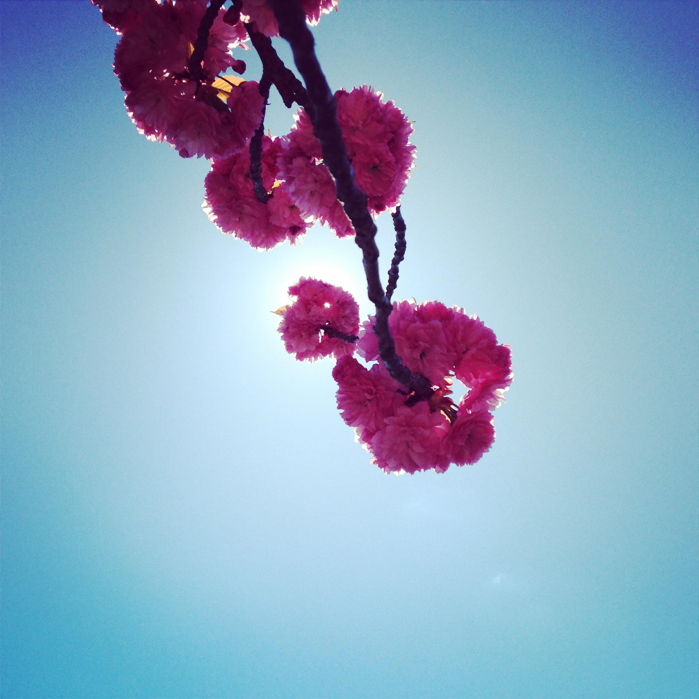 cherry_blossom_nyc