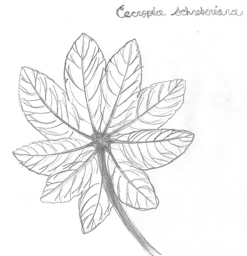 Cecropia Schreberiana