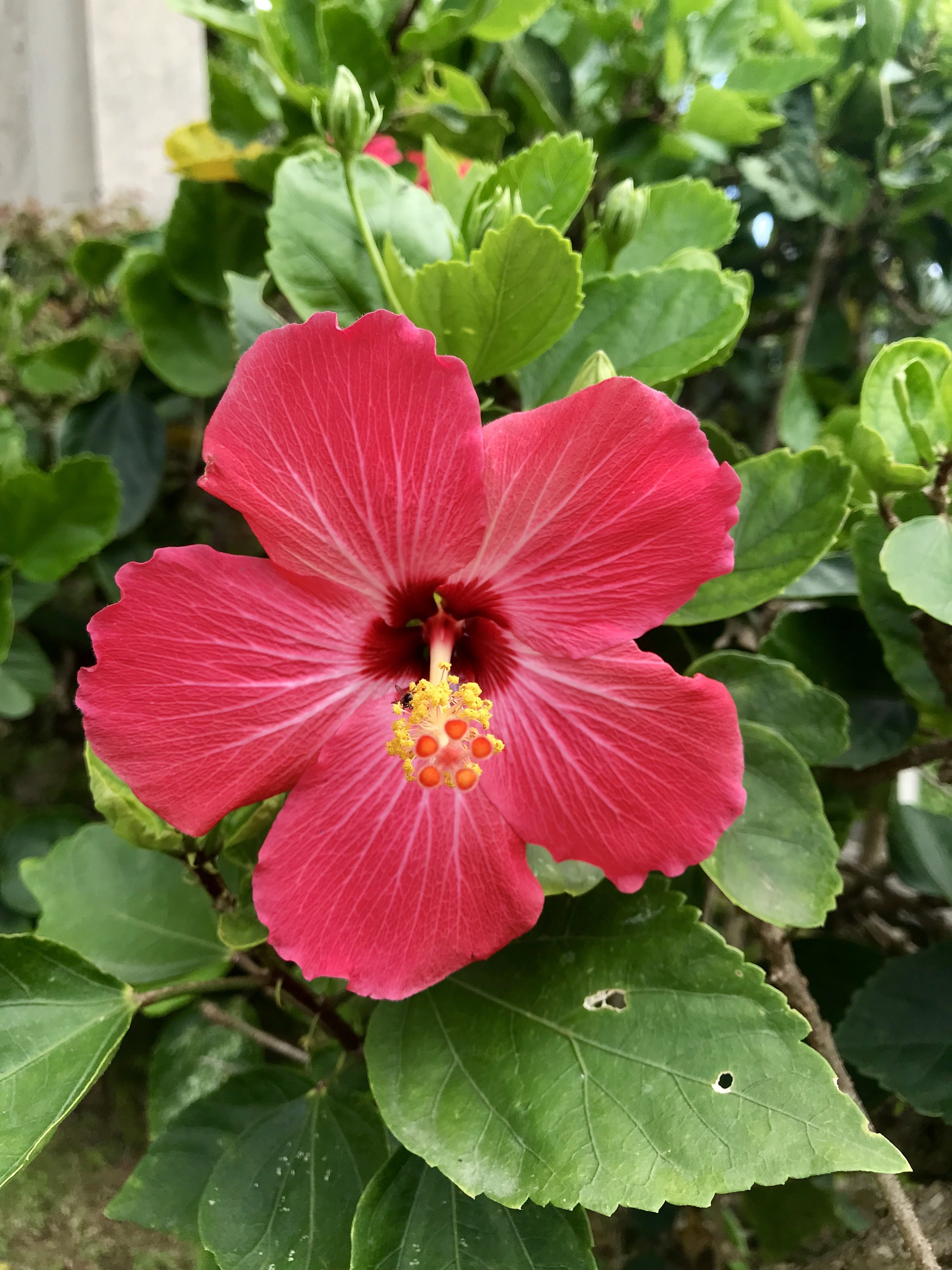 Hibiscus Flower found in our courtyard- it attracts hummingbirds