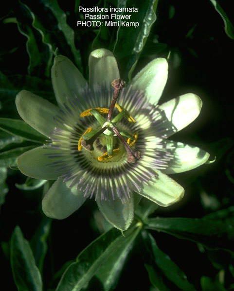 Passiflora_incarnata.jpg