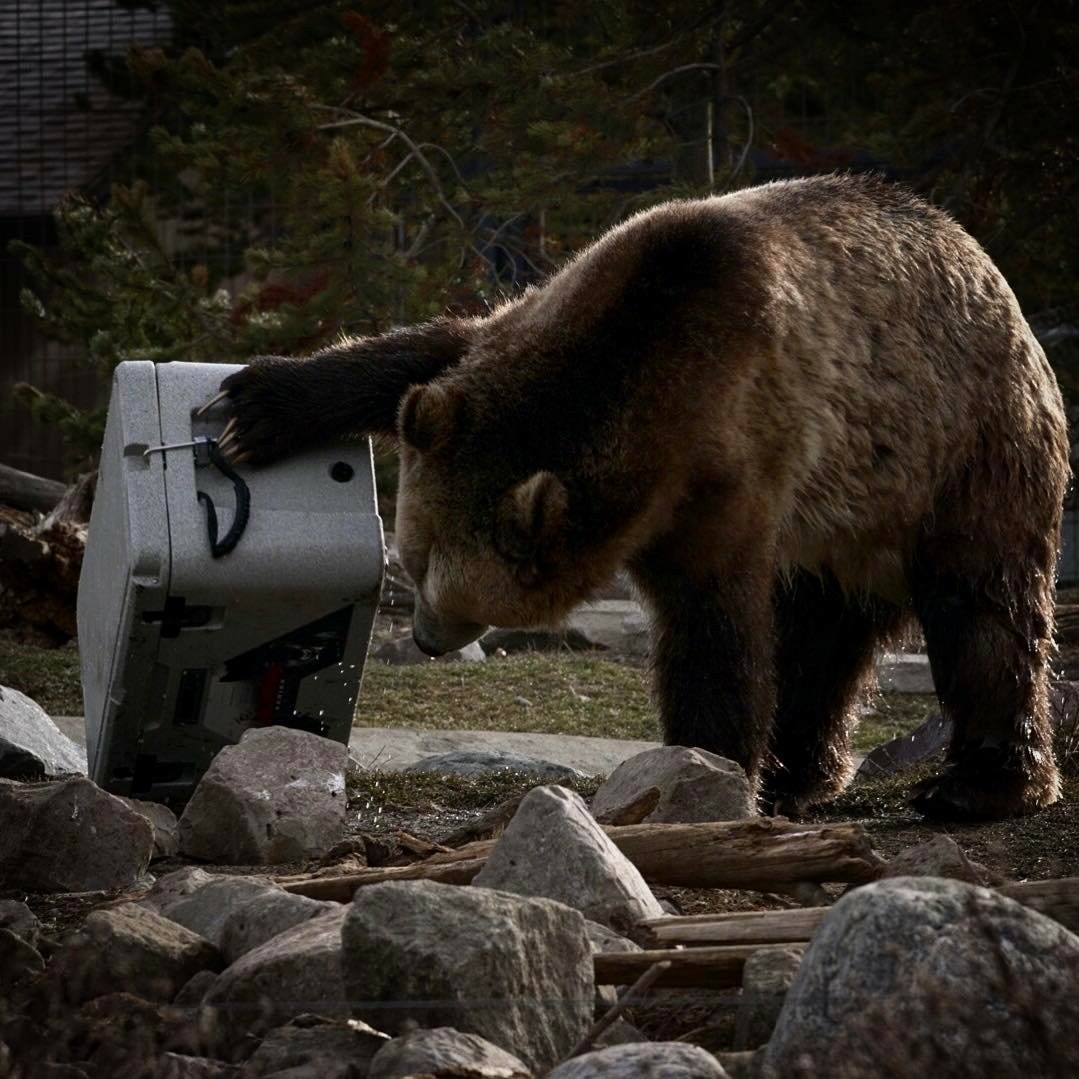 Alpha Pro Series Cooler with a Grizzly Bear