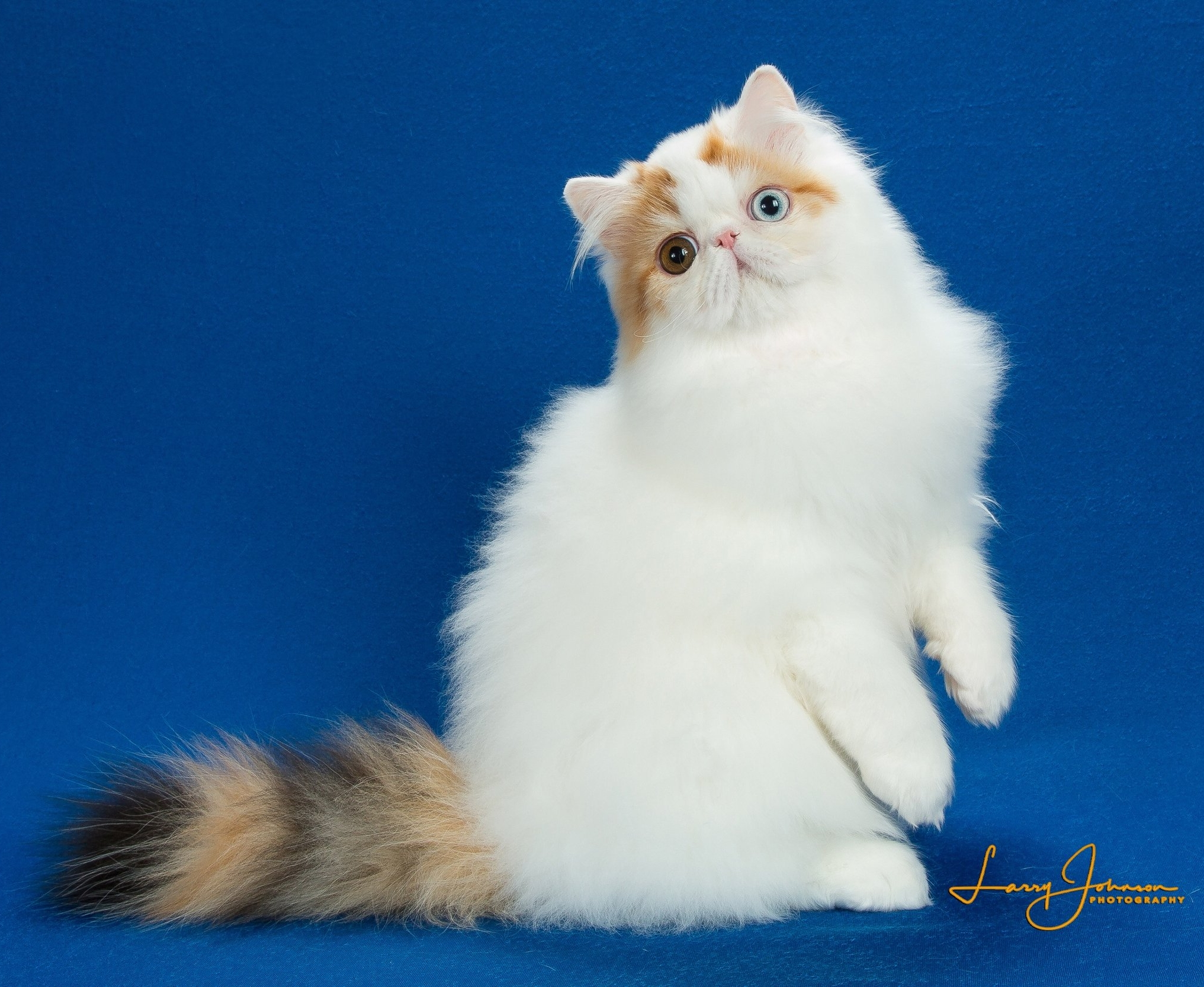 2018 GC, RW Steamboat Pistol Annie (Odd eyed Persian, age 4 months in picture)