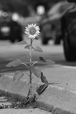 sunflower-concrete-cracks.jpg