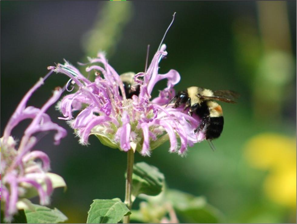 Wild bee on Bee Balm