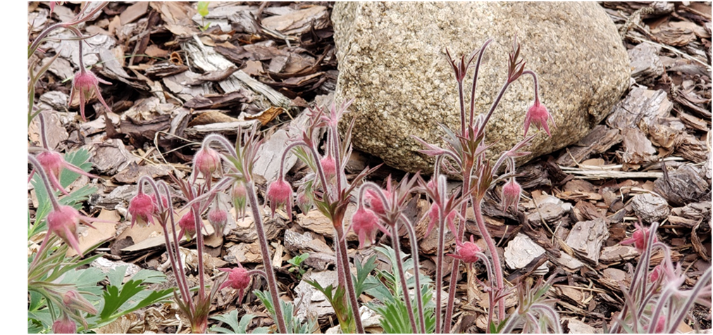 Spring buds of Prairie Smoke