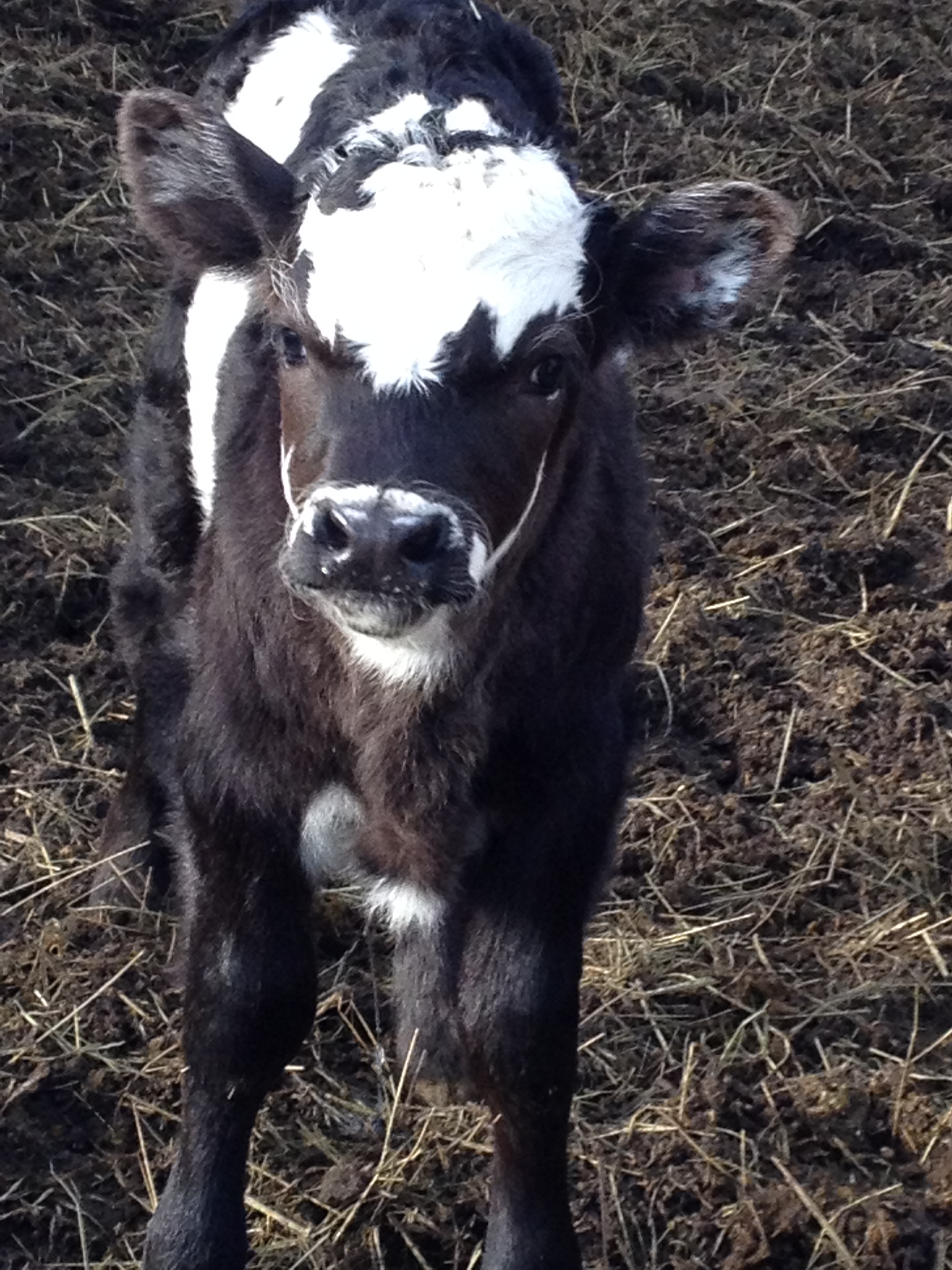 Patches the steer born November 16, 2014.