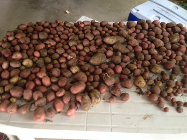 Potatoes curing on the table in the carport for future meals.