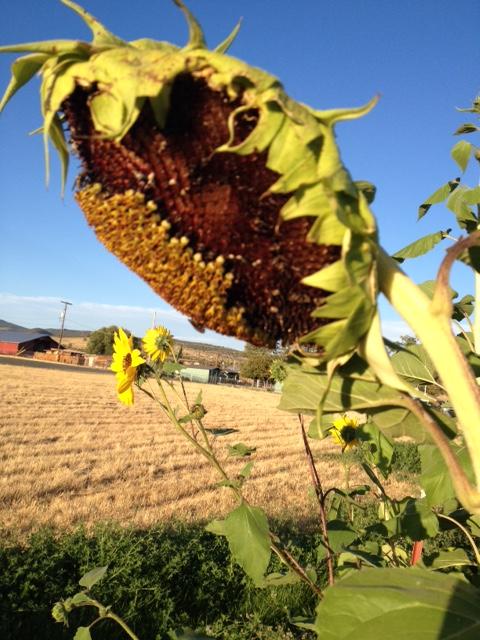 sunflowers #3.jpg