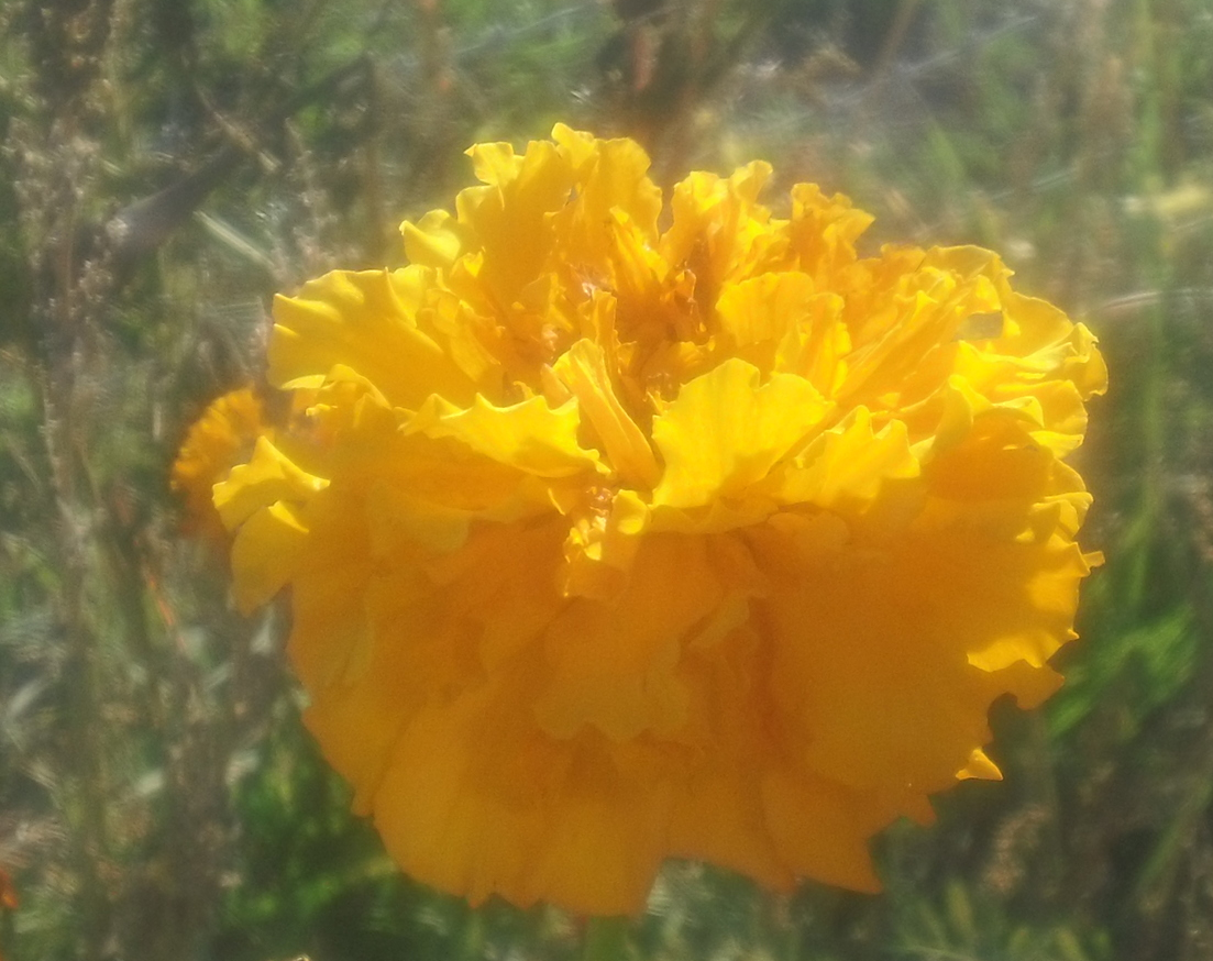 Heritage marigolds in bloom.