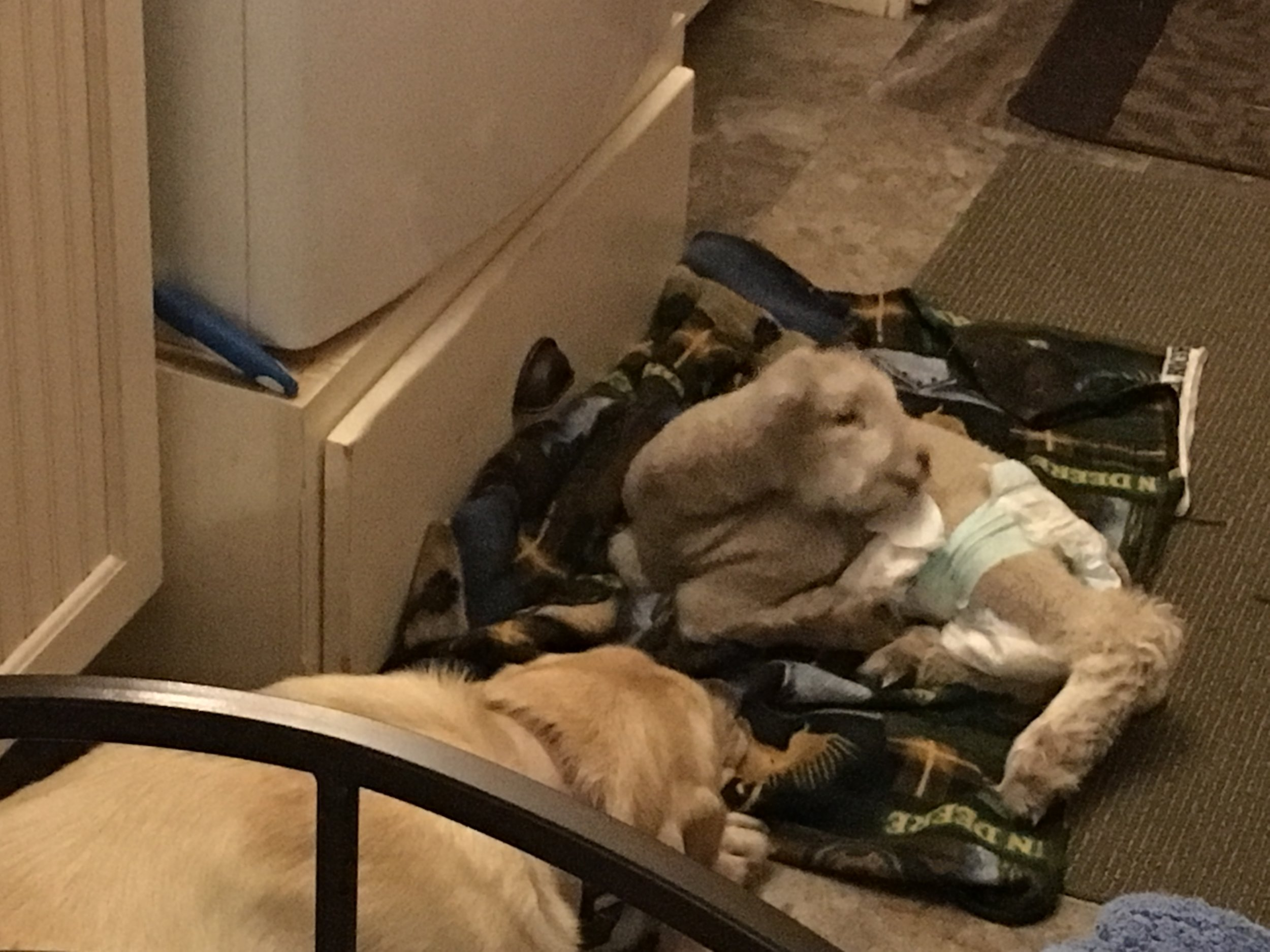 Alice the yellow lab sharing her coveted mud room space with the lamb.