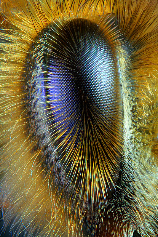 Honey bee eye.jpg