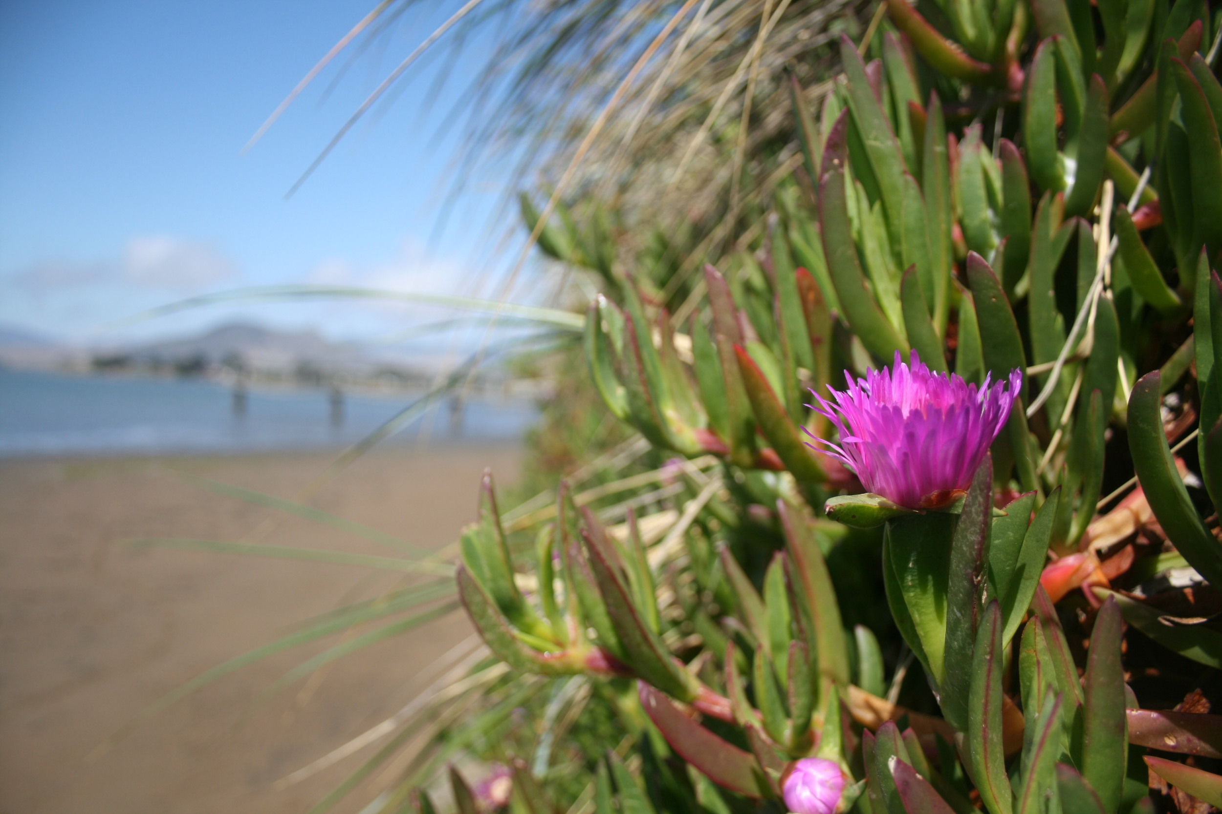 ice plant at bay