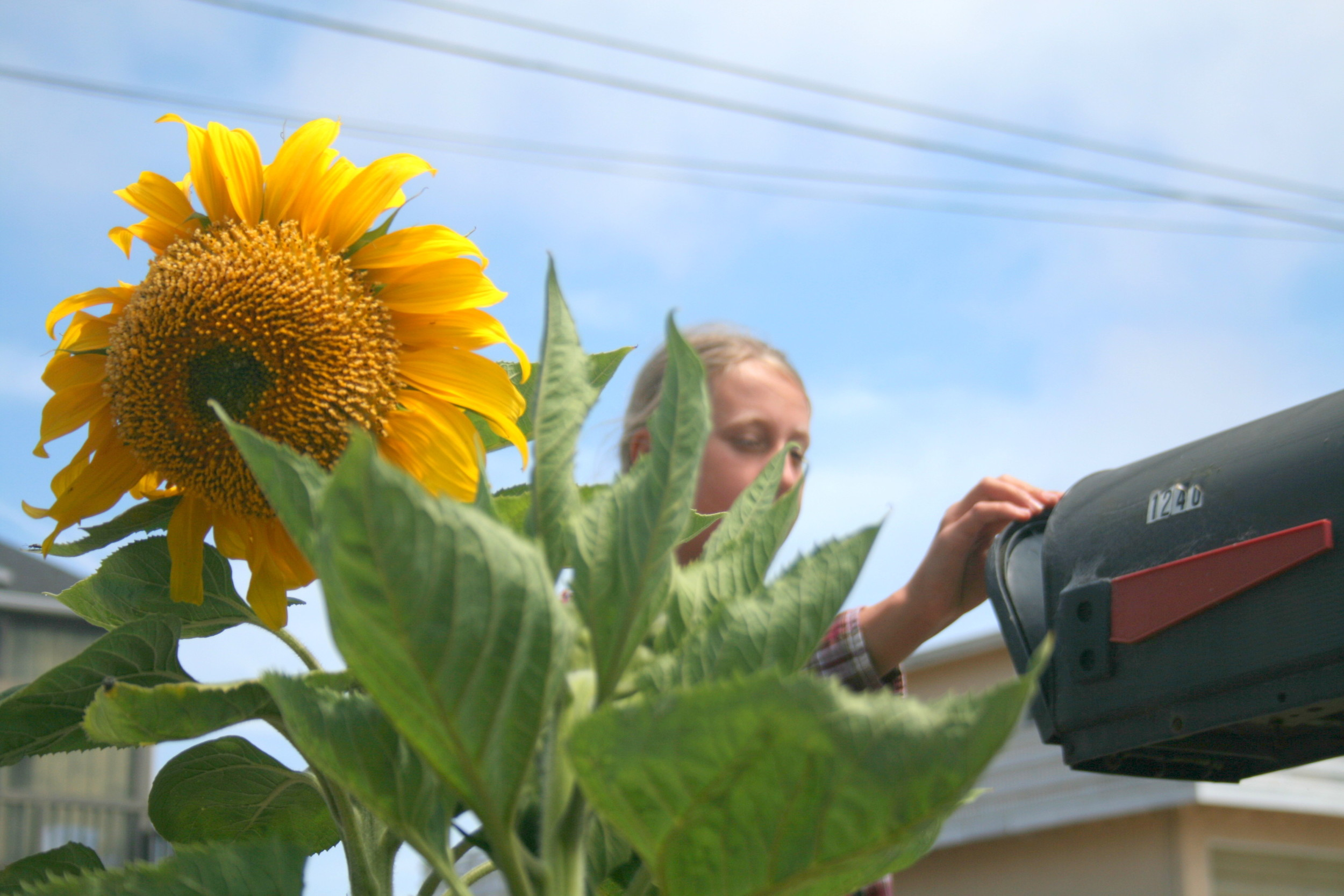 happy sunflower by the mailbox