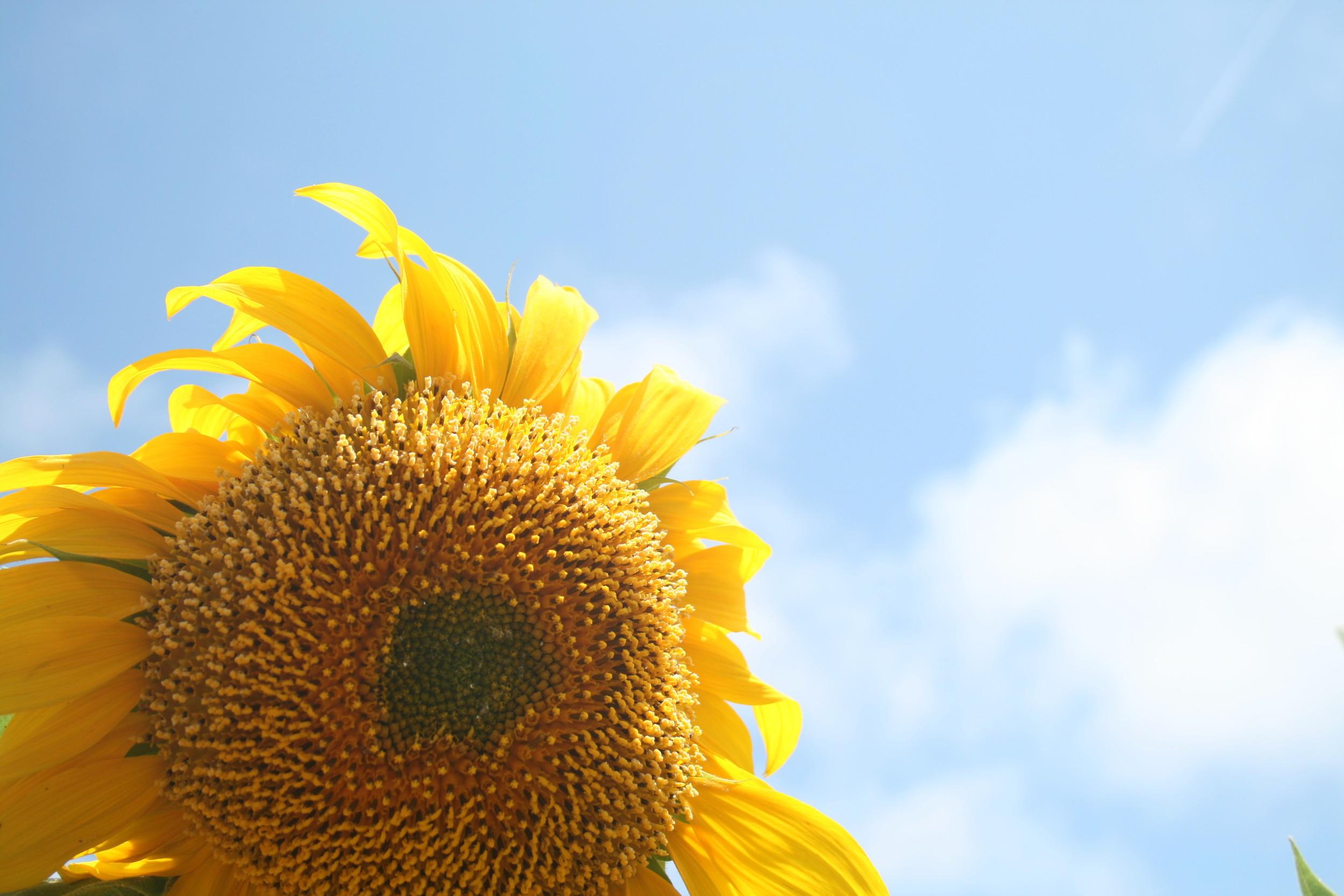 sunflower in the sky
