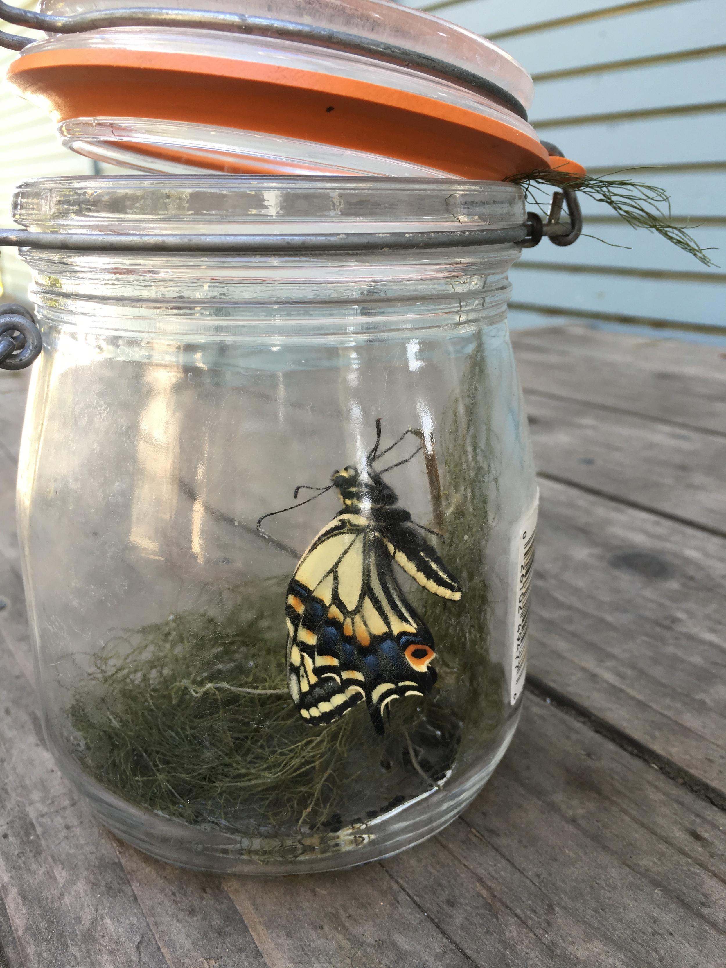 butterfly metamorphasis