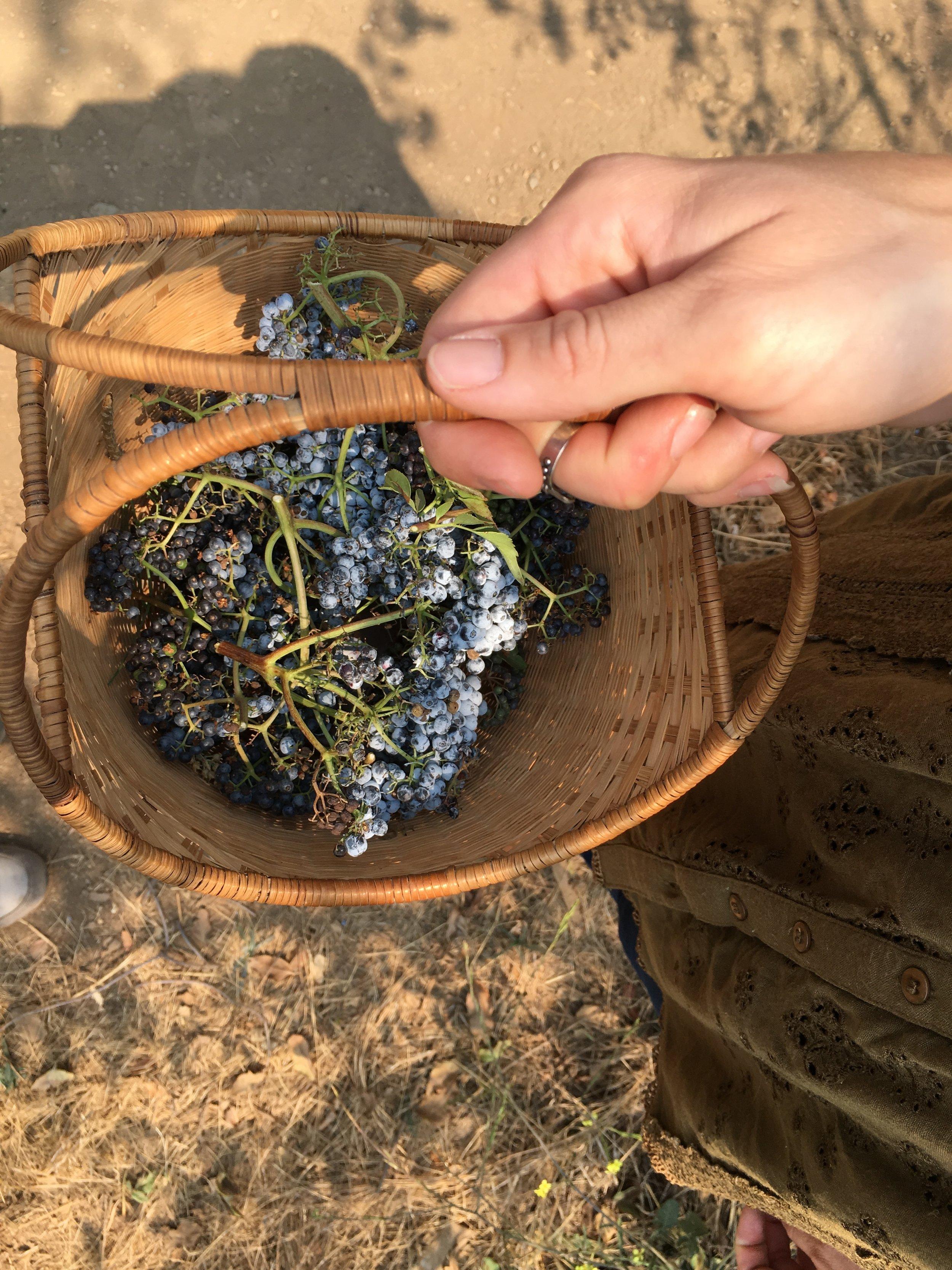 foraging wild elderberries