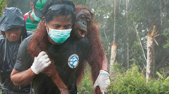 Rescue of an orangutan by IAR activists on the BGA palm oil plantation in West Kalimantan. Most orangutans wouldn't be so lucky. https://www.rainforest-rescue.org/petitions/914/orangutans-victims-of-sustainable-palm-oil