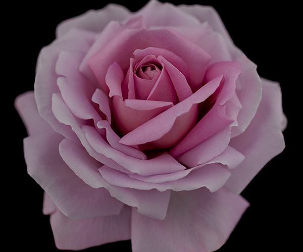 ROSE SYNACTIF - An inimitable rose with an overwhelmingly beautiful appearance and unparalleled fragrance. Noble and charming in a delicate mauve, it has a well-defined, clear floral fragrance that comes from a balanced blend of fruity dewiness, the translucency of violet, and fine tea scent