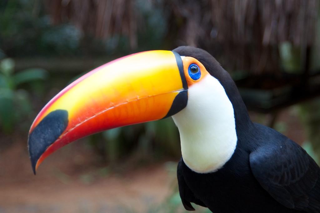 Adult toucan, Bird sanctuary, Iguazu National Park, Brazil, 15 Apr 2012