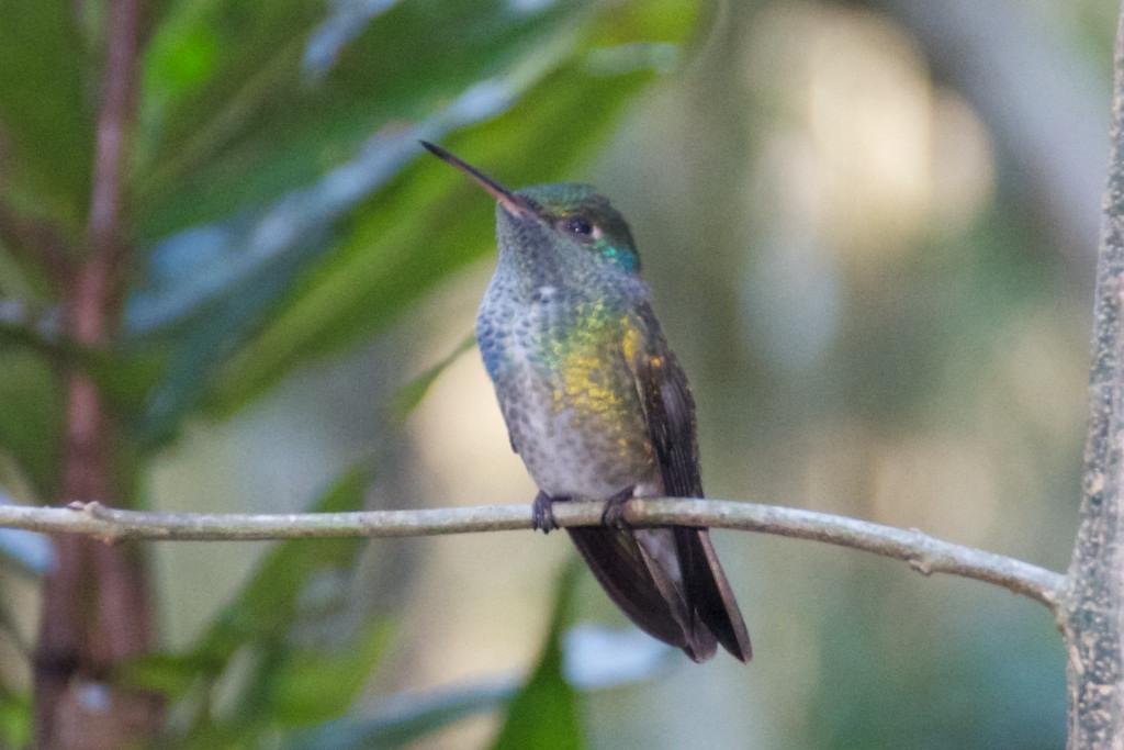 Humming bird, Bird sanctuary, Iguazu National Park, Brazil, 15 Apr 2012