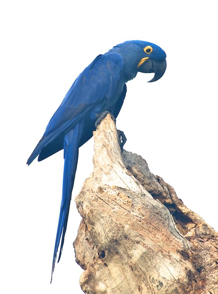 Blue macaw #5, Pantanal, Brazil, 22 Apr 2012
