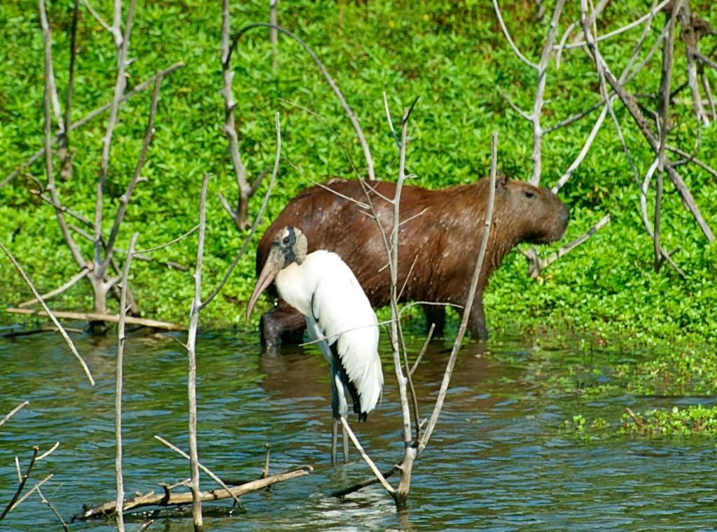 Capybara & stork, Pantanal, Brazil, 21 Apr 2012