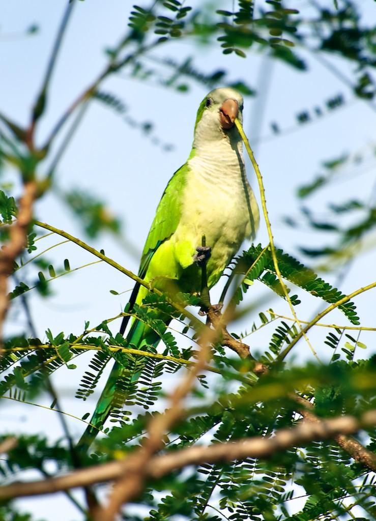 Green parrot, Pantanal, Brazil, 21 Apr 2012
