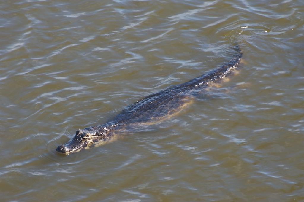 Caiman #3, Pantanal, Brazil, 21 Apr 2012