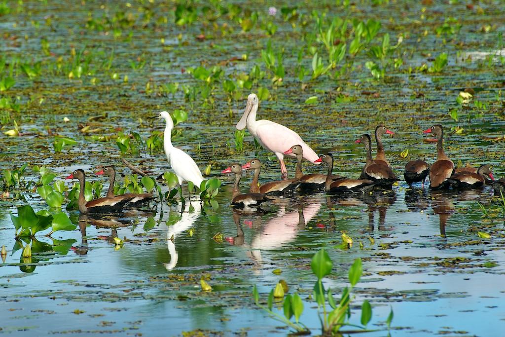 Spoonbills & ducks #5, Pantanal, Brazil, 22 Apr 2012