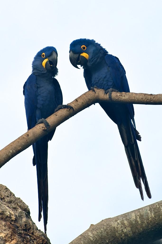 Blue macaws #4, Pantanal, Brazil, 22 Apr 2012